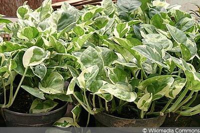 Efeutute, Schattenpflanze