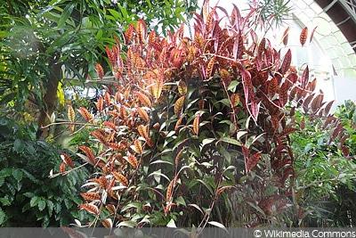 Gefleckte Schamblume (Aeschynanthus marmoratus), Hängepflanze