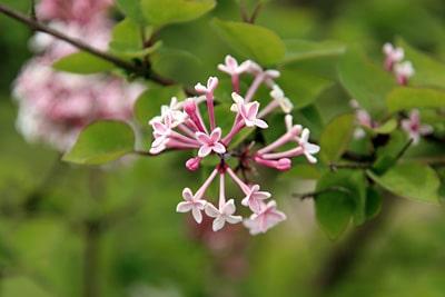 Herbst-Flieder (Syringa microphylla), sonniger Standort