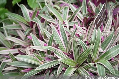 Purpurblättrige Dreimasterblume (Tradescantia spathacea):