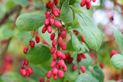 Gewöhnliche Berberitze - Berberis vulgaris, winterhart