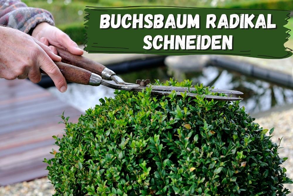 Buchsbaum radikal schneiden