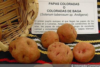 Kanarische Colorada de Baga, rote Kartoffelsorte