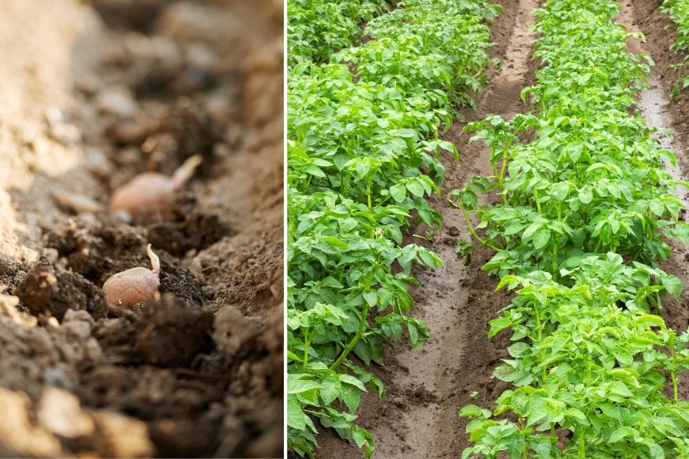 Kartoffeln säen