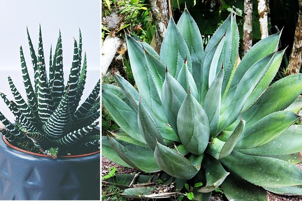 Aloe Vera Arten