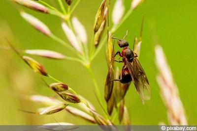 Ameise mit Flügeln