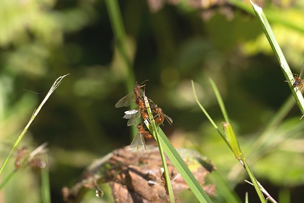 Ameisen mit Flügeln