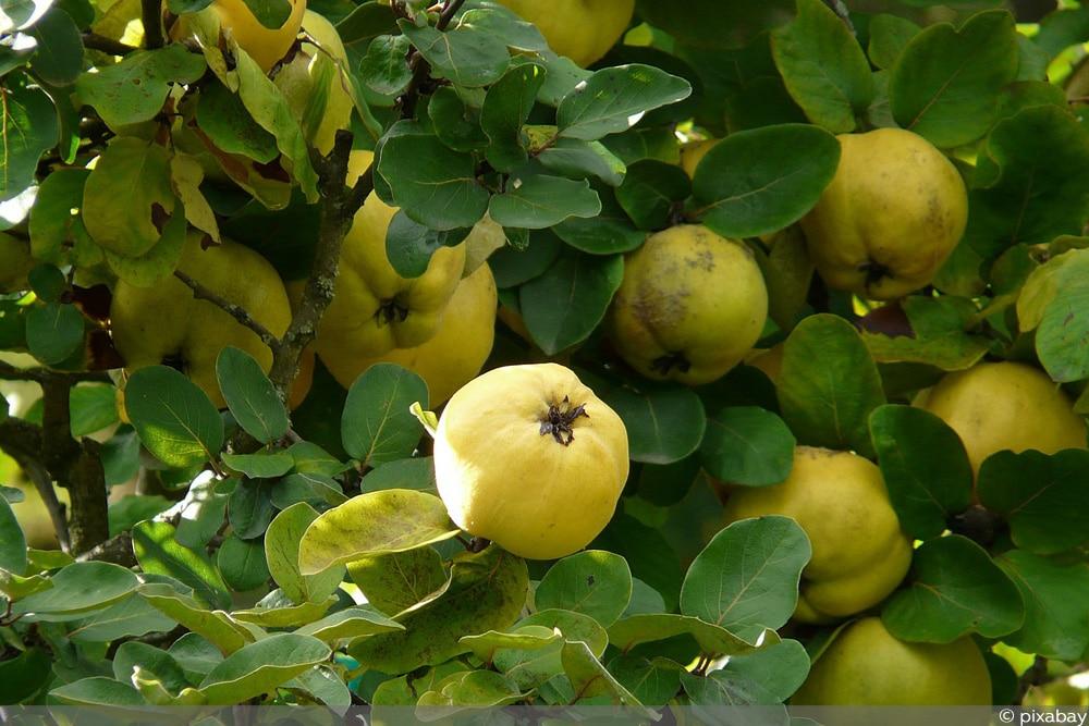 Apfelquitten-Baum