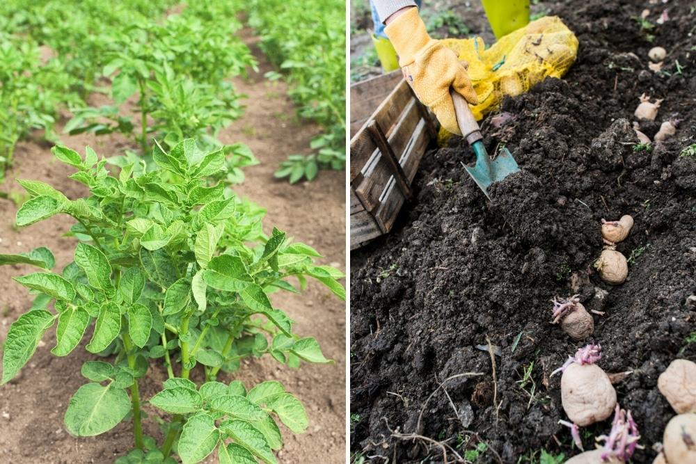 Frühkartoffeln anbauen