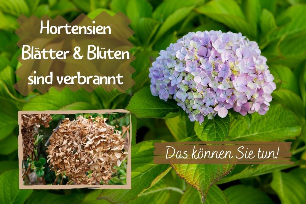 Hortensien Blätter Blüten verbrannt