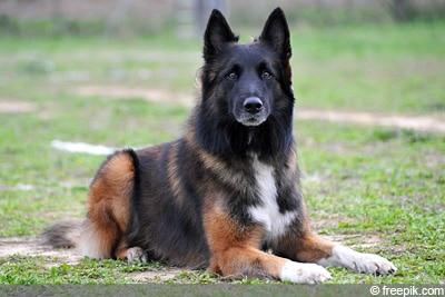 Hund zur Fuchsabwehr