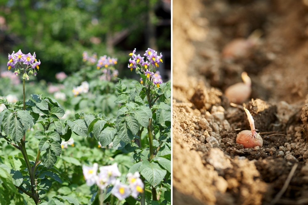 Pflanzzeit von Kartoffeln