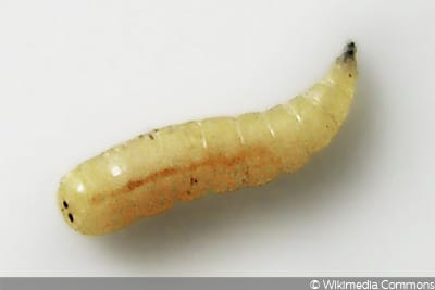 Stubenfliege (Musca domestica)