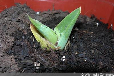Aloe Kindel