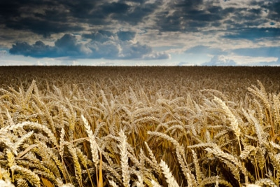Getreidefeld Gewitter