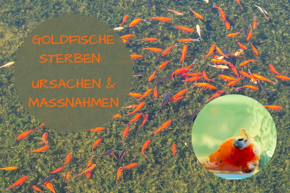 Goldfische sterben