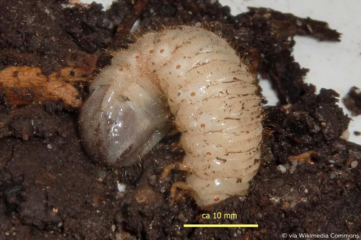 Rosenkäfer (Cetoniinae)