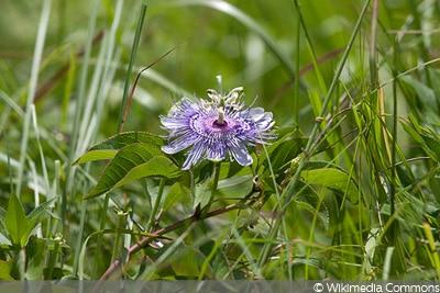 Winterharte Passionsblume, Passiflora incarnata
