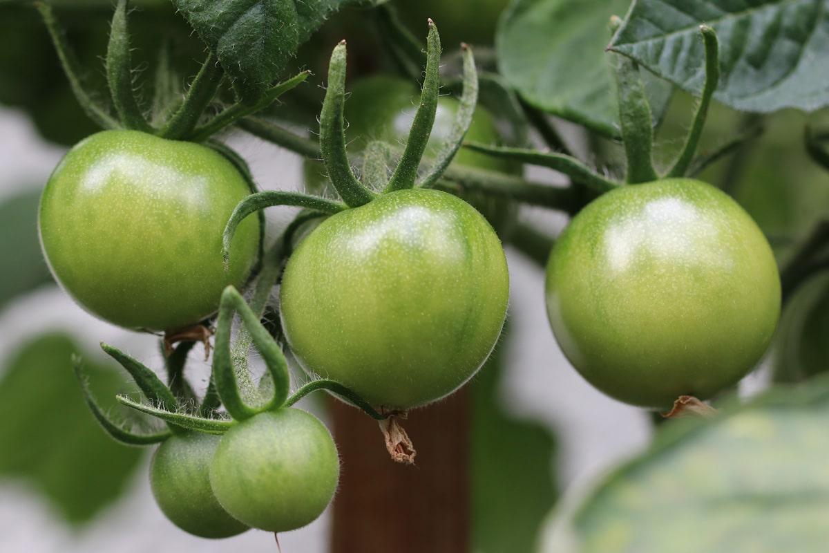 Solanum lycopersicum, grüne Tomaten
