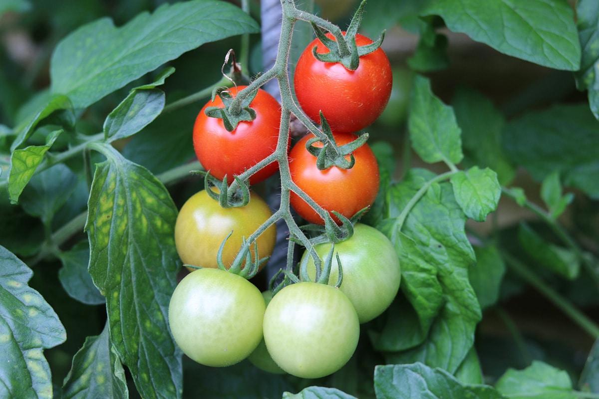 Solanum lycopersicum, Tomaten