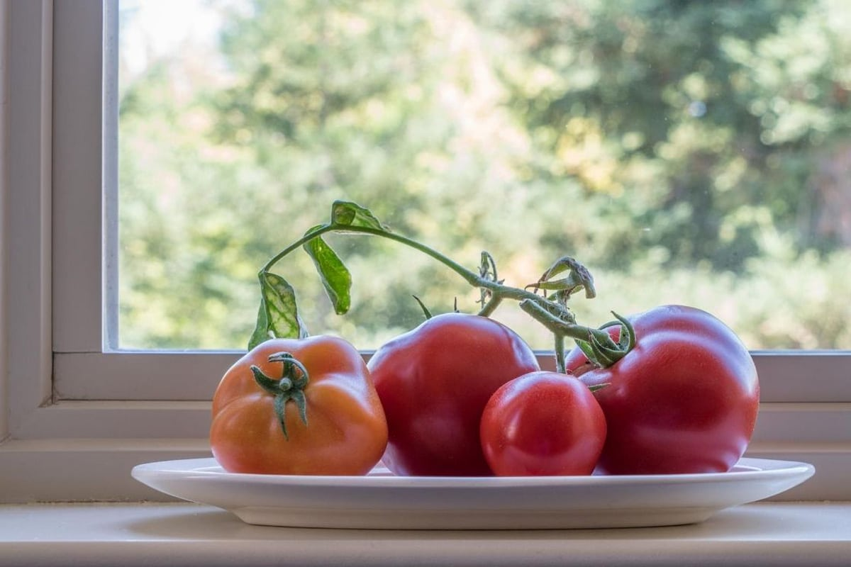 Solanum lycopersicum auf der Fensterbank