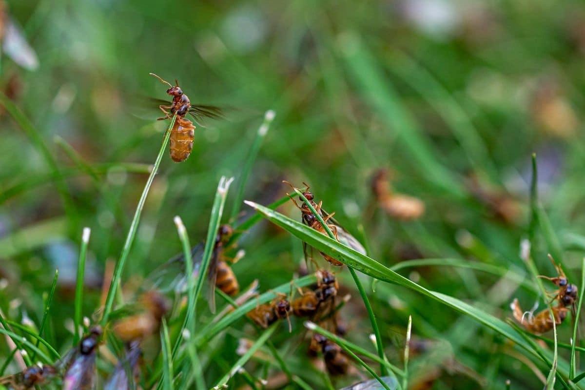 Ameisen im Rasen