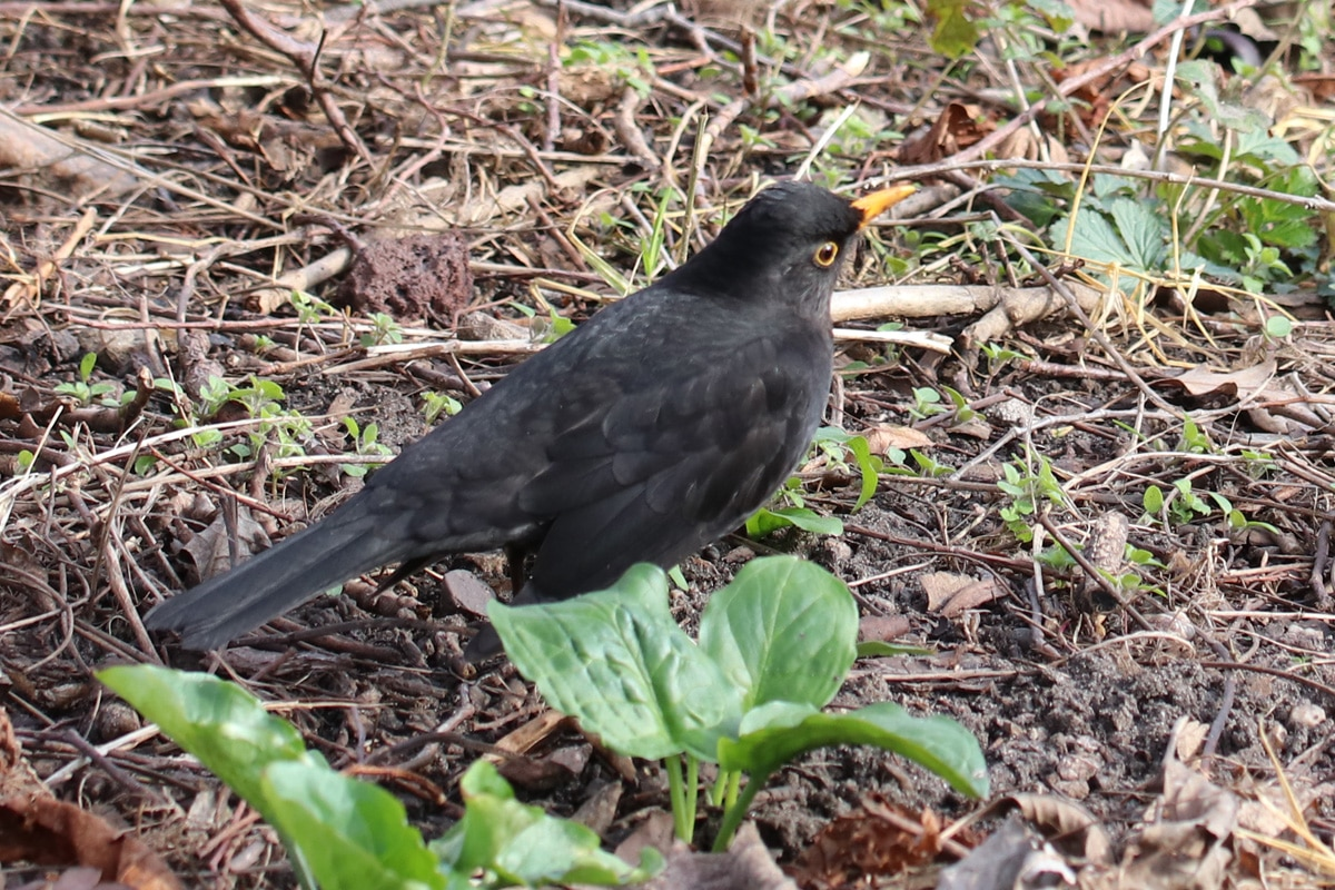Heimische Standvögel - Amsel
