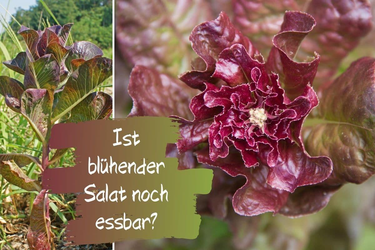blühender Salat essbar