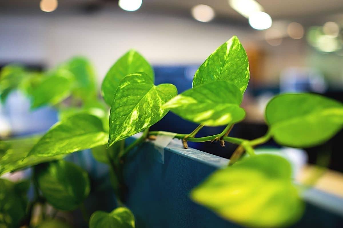 Efeutute, Epipremnum aureum, Kletterpflanze