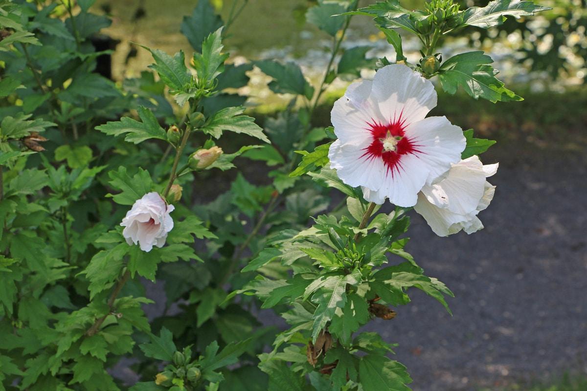 Garten-Eibisch (Hibiscus syriacus), Hibiskus