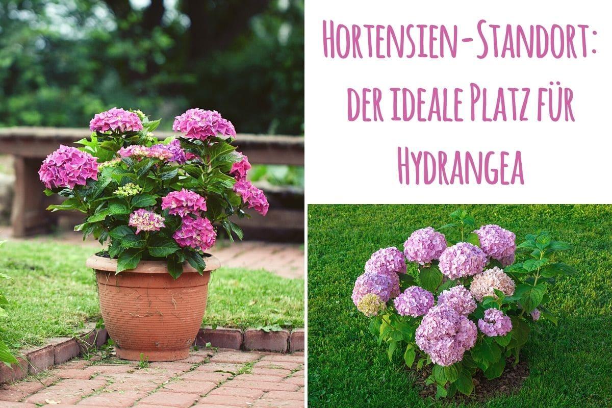 Hortensie Standort