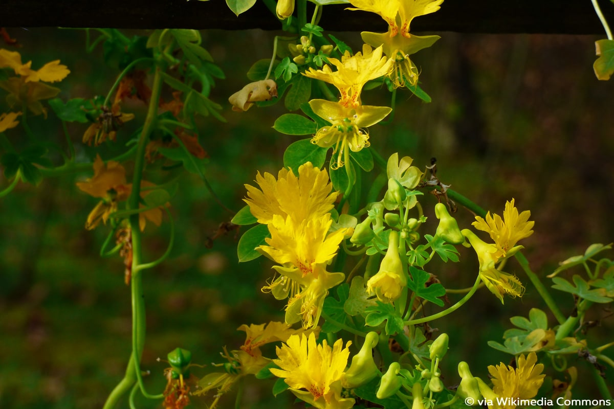 Kanarische Kapuzinerkresse (Tropaeolum peregrinum)