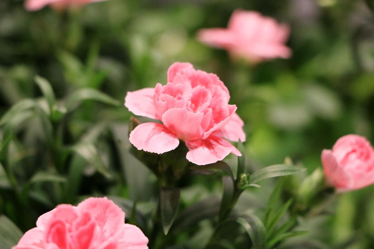 Nelke (Dianthus)