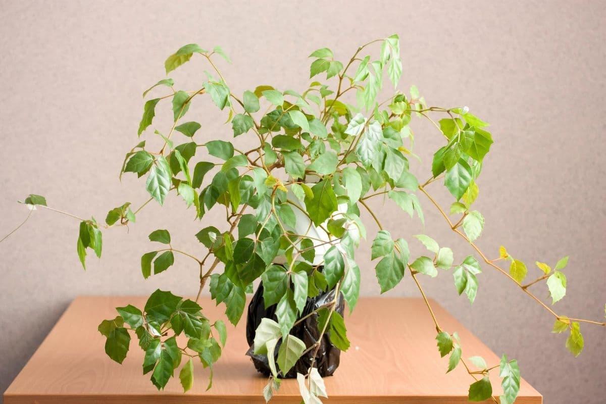 Rautenblättrige Klimme (Cissus alata, Syn. C. rhombifolia)