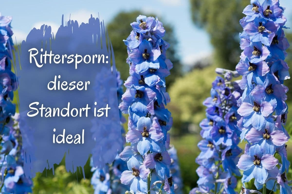 Ritterpsorn Canva