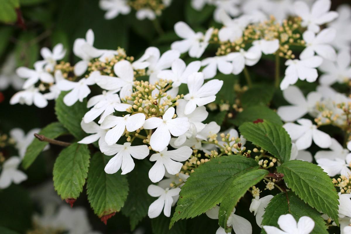 V. plicatum