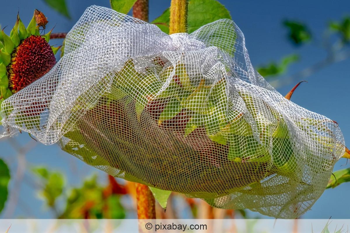 Sonnenblumen schützen mit Netz