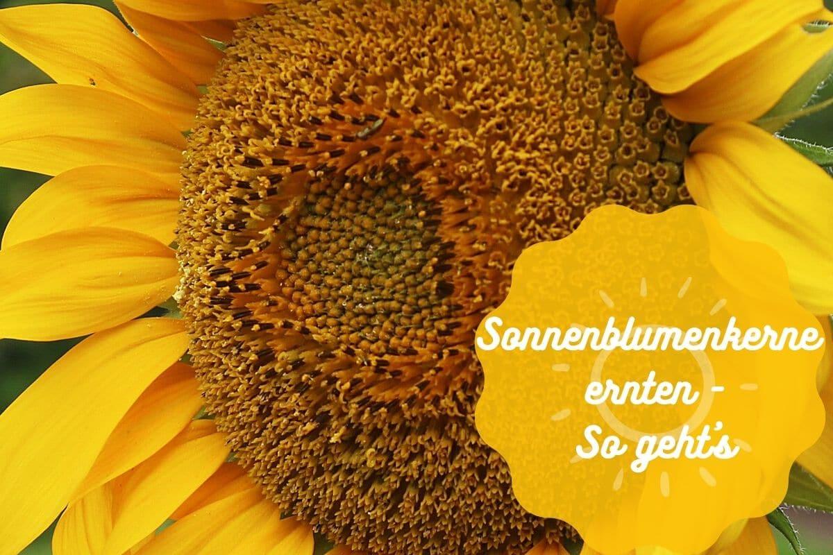 Sonnenblumenkerne ernten