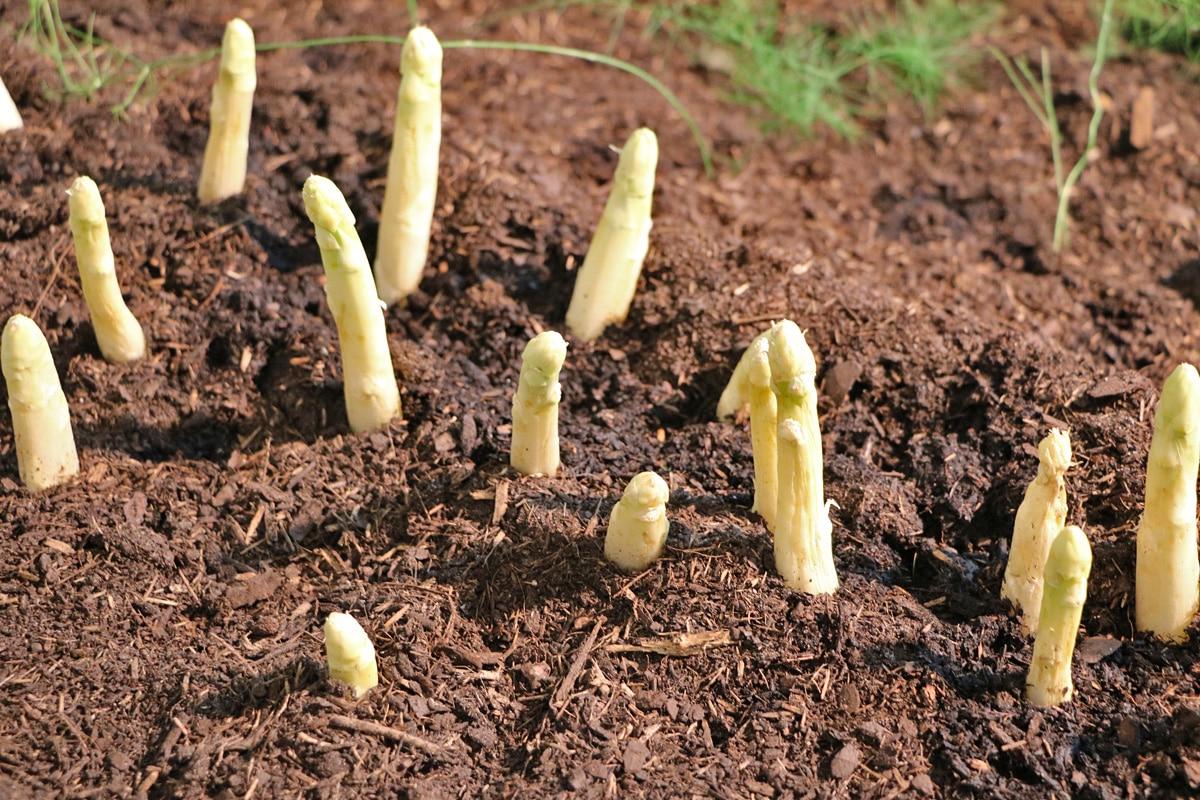 Spargel (Asparagus officinalis), Kaffeesatz