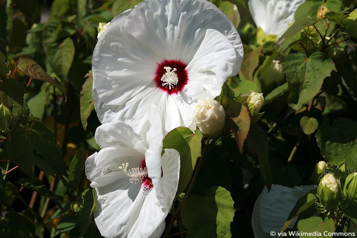 Sumpfeibisch, Hibiscus moscheutos