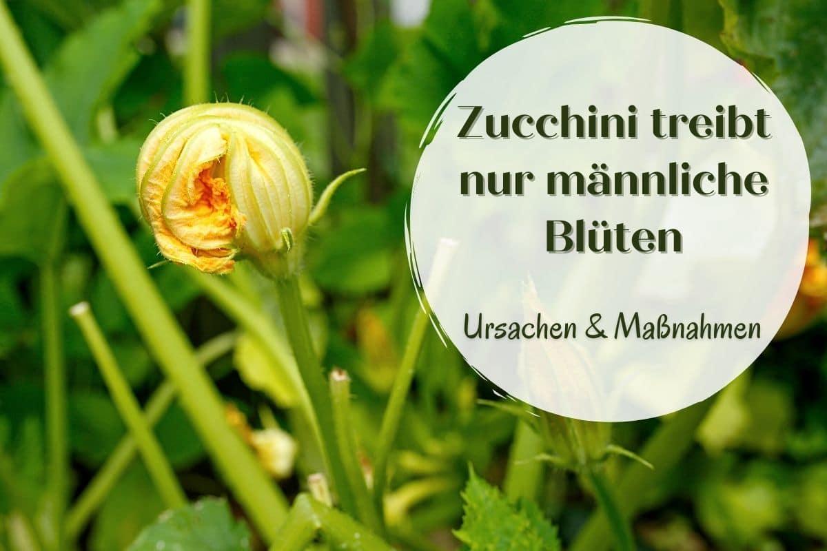 Zucchini männliche Blüten