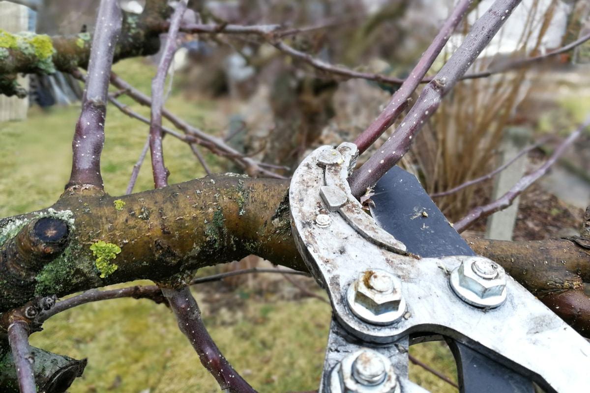 Apfelbaum schneiden mit Baumschere