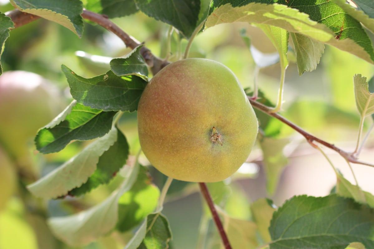 Boskoop - Alte Apfelsorte