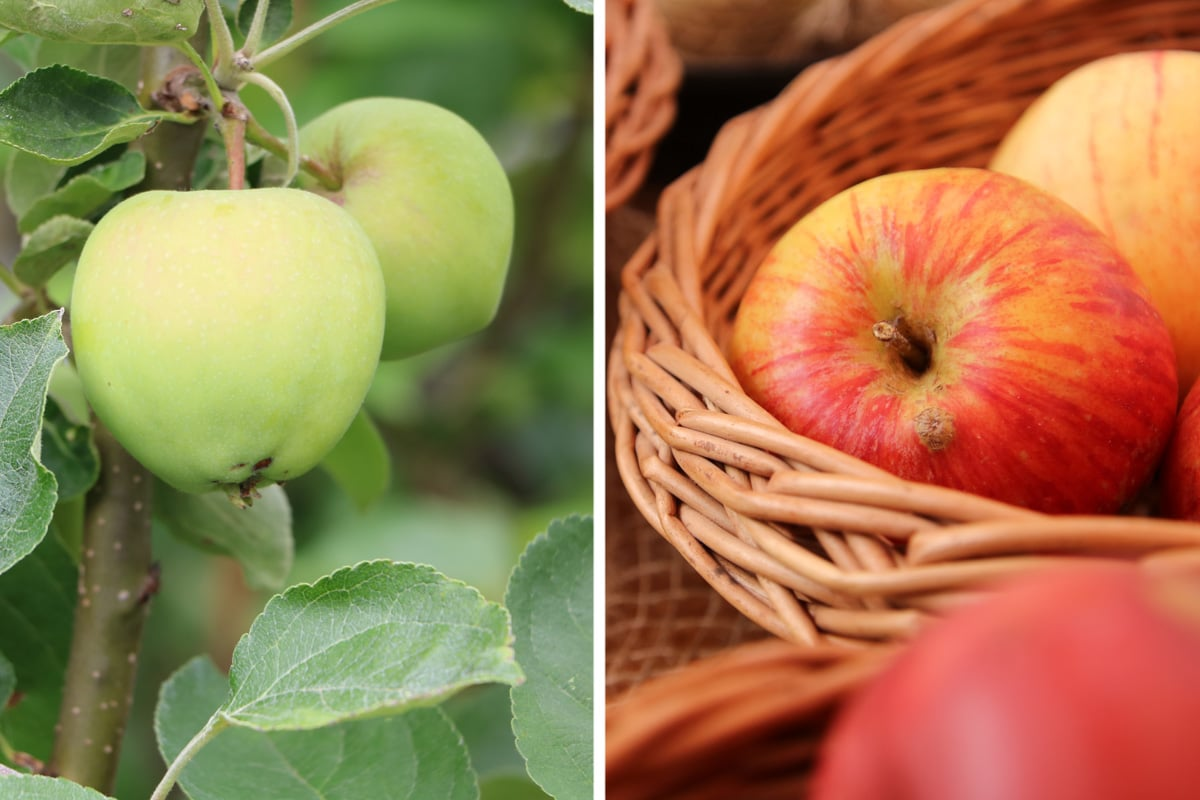 Apfelsorten - Klarapfel und Alkmene