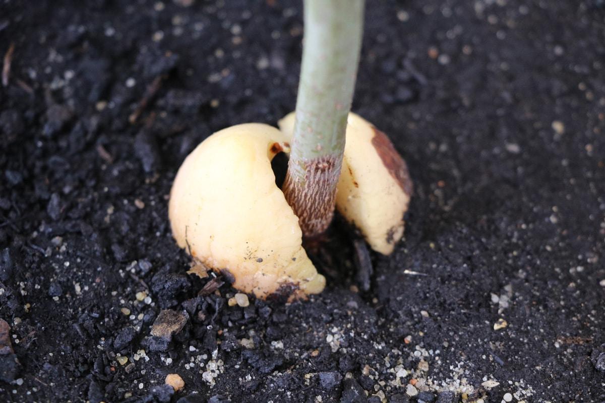 Substrat eines Avocadobaums