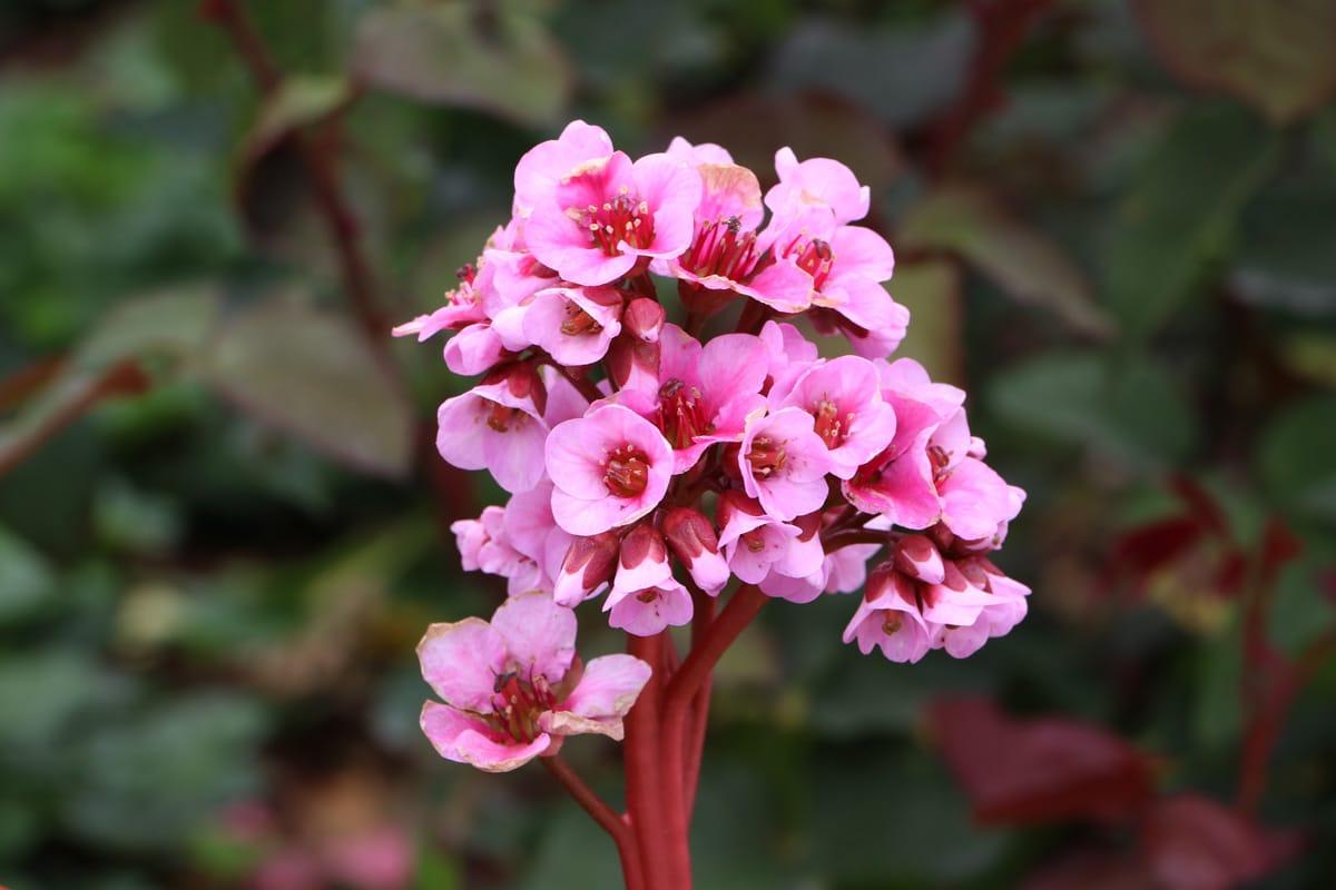 Bergenie 'Herbstblüte'