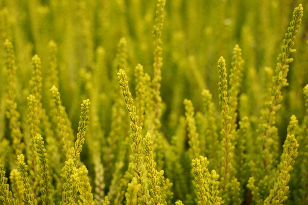Besenheide - Calluna vulgaris
