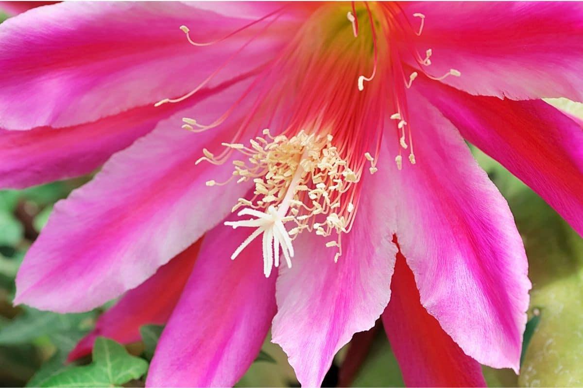 Blattkaktus - Epiphyllum