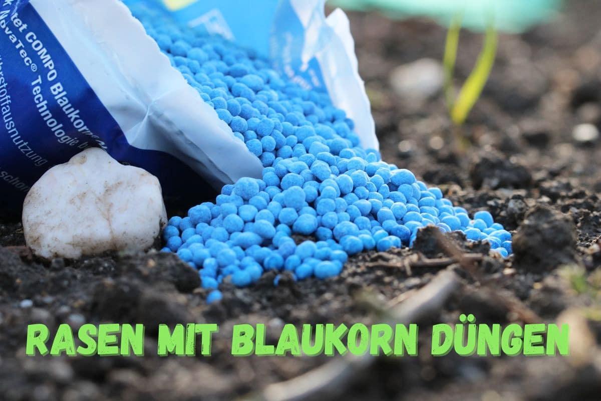 Rasen mit Blaukorn düngen