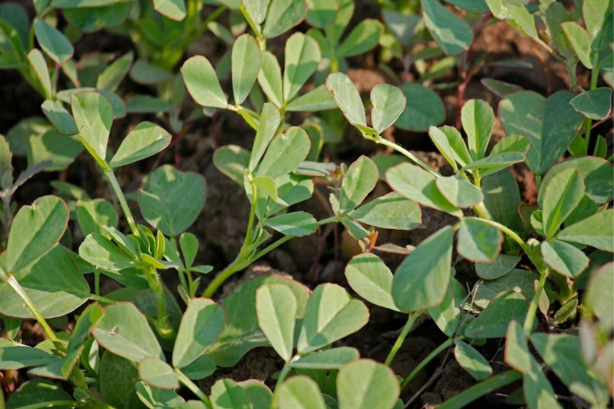 Bockshornklee - Trigonella foenum-graecum